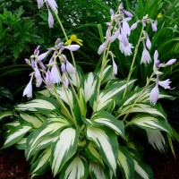 Photo of Hosta 'Christmas Candy' courtesy of Walters Gardens