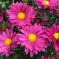 Chrysanthemum 'Mammoth Lavender' from Growing Colours