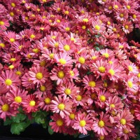 Chrysanthemum 'Mammoth Coral' from Growing Colours