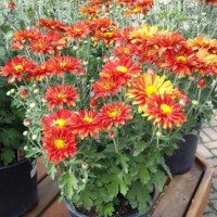 Chrysanthemum  'Mammoth Red Daisy' photo courtesy of Paridon Horticultural