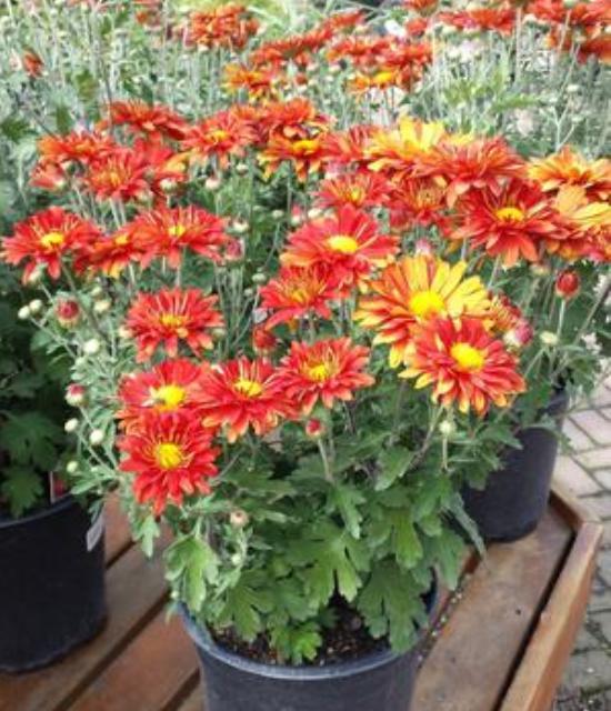 Chrysanthemum  'Mammoth Red Daisy' photo courtesy of Paridon Horticultural