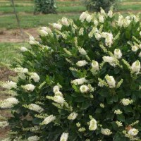 Clethra alnifolia Sugartina 'Crystaltina' Photo courtesy of Proven Winners