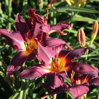 Daylily 'College Colors' photo Suzanne Patry