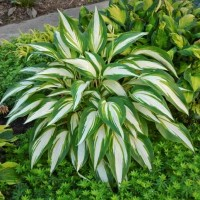 Hosta 'Cool as a Cucumber' Photo courtesy of Walters Gardens