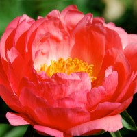 Peony 'Coral Sunset' photo courtesy of Walters Gardens