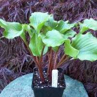 Hosta 'Cranberry Wine' photo courtesy of Naylor Creek