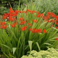 Crocosmia 'Lucifer' photo courtesy of Walters Gardens