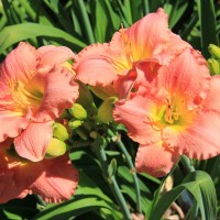 Daylily 'Dance Til Dawn'