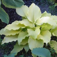 Hosta 'Dancing Queen' photo courtesy of Kent Terpening