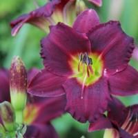 Daylily 'Dark Ruby' photo Whitehouse Nursery and Display Gardens