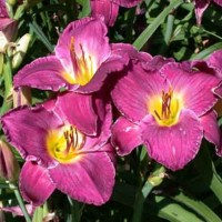 Daylily 'Debra Billips' photo Whitehouse Perennials Nursery and Display Gardens