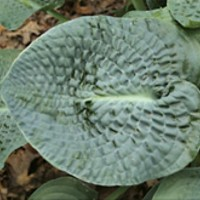 Hosta 'Deep Blue Sea' Photo courtesy of Q anz Nursery