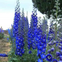 Delphinium Cobalt Dreams photo courtesy of photo courtesy of Dowdeswell's Delphiniums