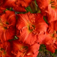 Daylily 'Desert Flame' photo Whitehouse Perennials