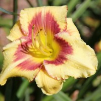 Daylily 'Desperado love' photo Suzanne Patry