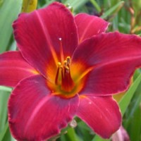 Daylily 'Dewey Rocquemore' photo Whitehouse Perennials Nursery and Display Gardens