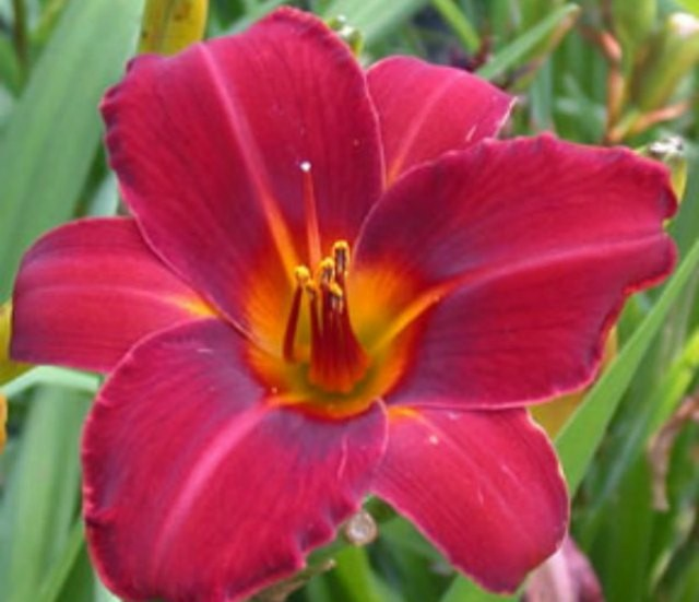 Daylily 'Dewey Rocquemore' photo Whitehouse Perennials Nursery and Display Gardens