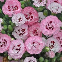 photo of Dianthus 'Appleblossom Burst' photo courtesy of Walters Gardens