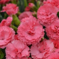 Dianthus 'Classic Coral' photo courtesy of Walters Gardens