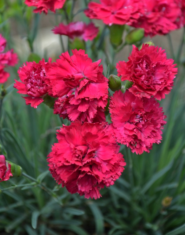 photo of Dianthus Cranberry Cocktail courtesy of Walters Gardens