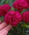 dianthus_cranberry_cocktail_closeup.jpg