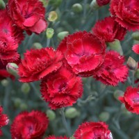 Dianthus 'Electric Red' photo courtesy of Walters Gardens