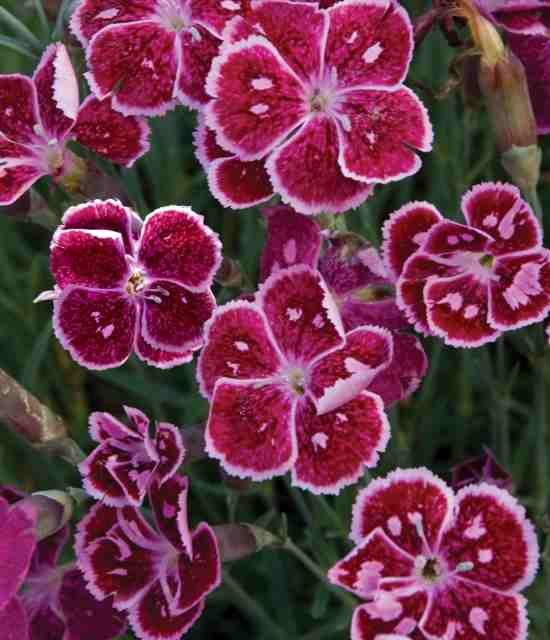 Dianthus 'Fire and Ice' photo courtesy of Walters Gardens
