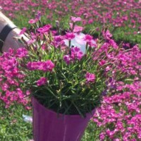 Dianthus 'Kahori' photo courtesy of Paridon Horticultural