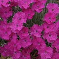 Dianthus 'Neon Star' photo courtesy of Walters Gardens