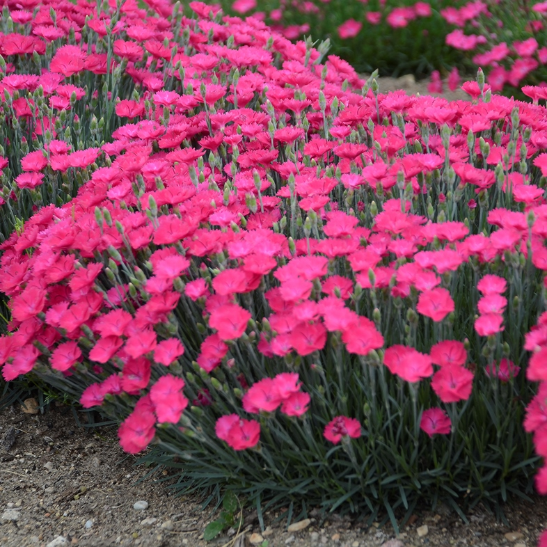 Dianthus 'Paint the Town Magenta' photo courtesy of Walters Gardens