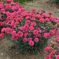 Dianthus 'Raspberry Ruffles' photo courtesy of Walters Gardens