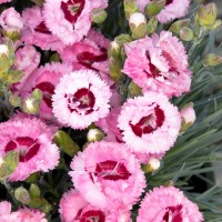 Dianthus Raspberry Splash