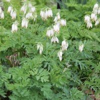 Dicentra formosa 'Aurora' photo at Whitehouse Nursery and Display Gardens