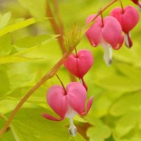 Dicentra 'Gold Heart' photo courtesy of Walters Gardens