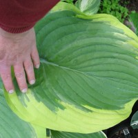 Hosta 'Dino' photo courtesy of Naylor Creek Nursery