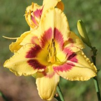 Daylily 'Don Stevens' Photo Whitehouse Nursery