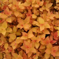 Spirea 'Double Play Candy Corn' photo courtesy of Proven Winners