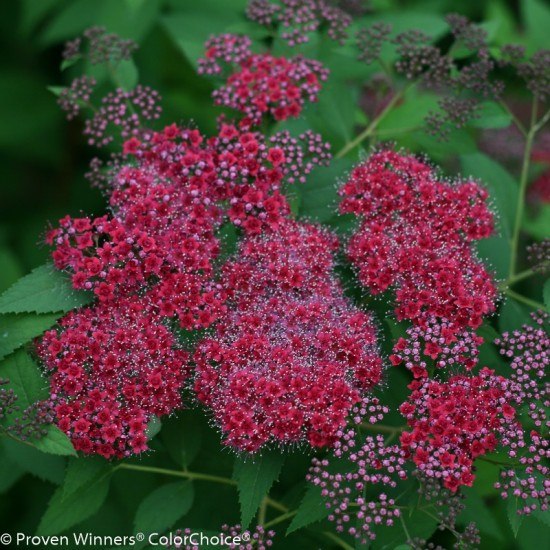 Spirea 'Double Play Red' photo courtesy of Proven Winners