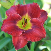 Daylily 'Doug's Red Mercedes' photo Whitehouse Nursery and Display Gardens