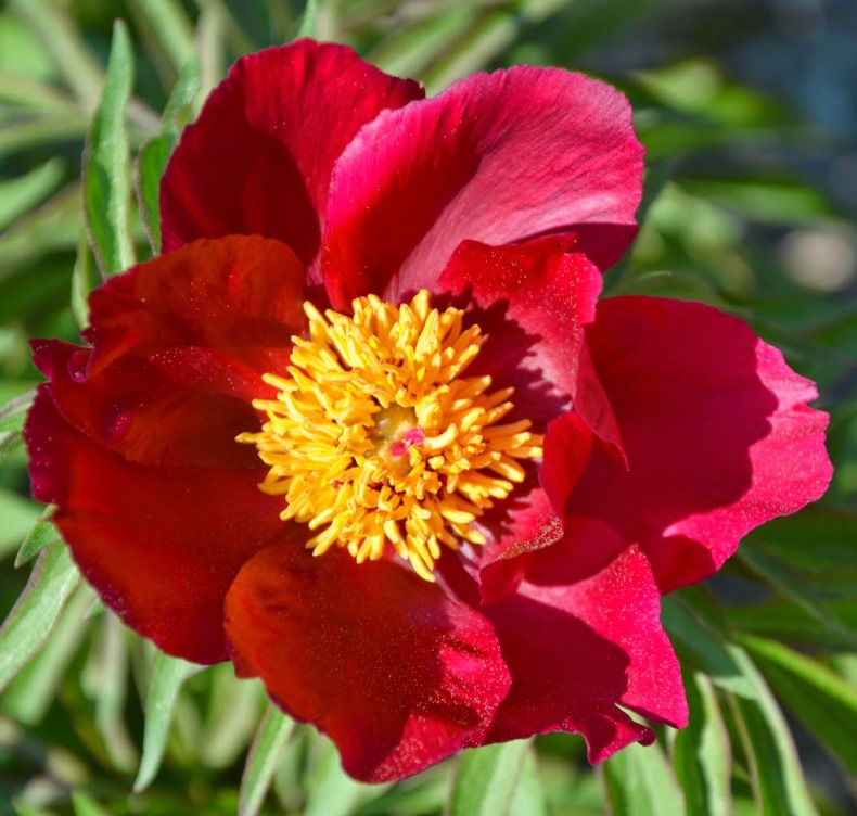 Peony 'Early Scout' photo Suzanne Patry