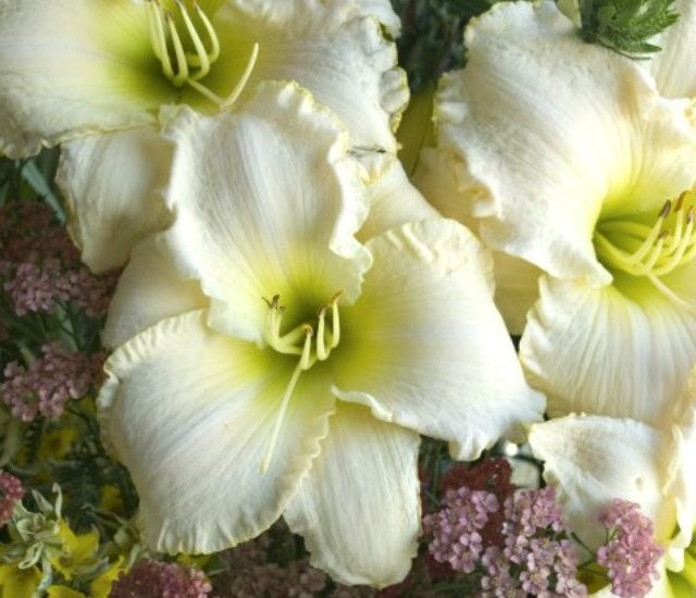 Daylily 'Early Snow' Photo courtesy of Walters Gardens