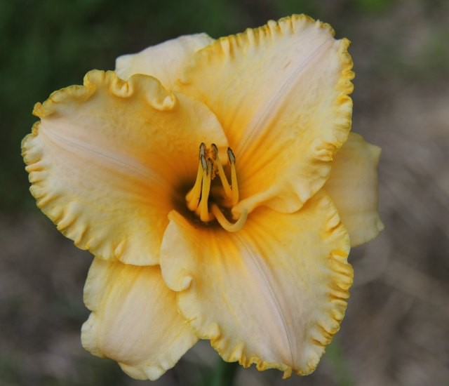 Daylily 'Earth Angel' photo Suzanne Patry