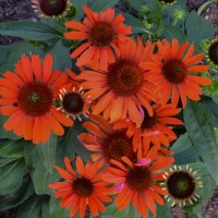 photo of Echinacea 'Atomic Orange' courtesy of Walters Gardens