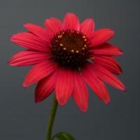 Echinacea 'Baja Burgundy' photo courtesy of Proven Winners