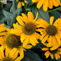 photo of Echinacea 'Canary' courtesy of Walters Gardens