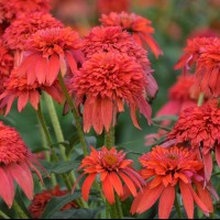 Echinacea 'Double Scoop Mandarin' photo courtesy of Walters Gardens