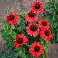 photo of Echinacea 'Frankly Scarlet' courtesy of Walters Gardens