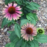 Echinacea 'Green Twister' photo courtesy of North Creek Nursery