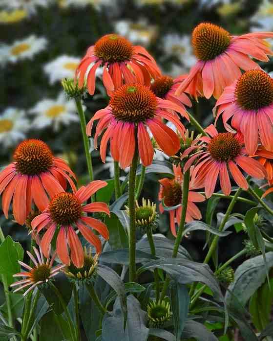 Echinacea 'Julia' photo courtesy of AB Cultivars