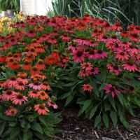 photo of Echinacea 'Lakota Fire' courtesy of Walters Gardens
